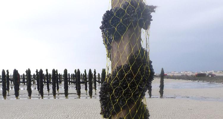 enroulage des cordes avec les naissains de moules sur les bouchots