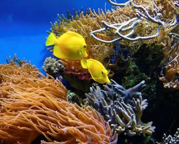 coraux et poissons exotiques chirurgiens